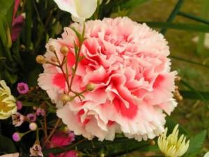 pretty-carnation_422_79211